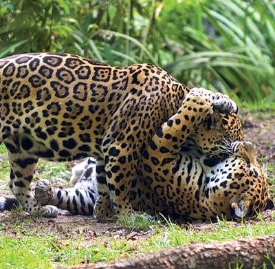 Jaguar au Zoo des Sables d'Olonne