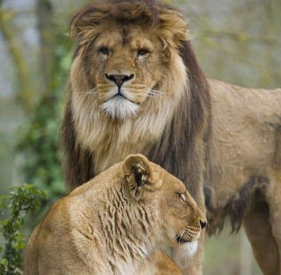 Lion parc zoologique