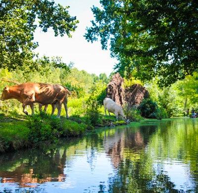 Les vaches au bord du marais poitevin